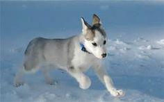 husky puppy running in the snow!!!:)