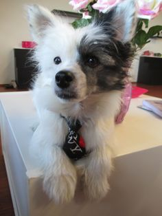 Pauli Chinece crested pup, permisson to lay on the table, with a tie :) www.somemore.fi