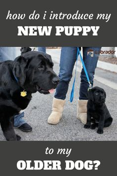 "Every dog is different. When adding a new puppy to the family you should always ask ""how do I introduce a new puppy to my older dog?"" before brining home you're new bundle of joy. Labrador Puppies, Black Lab Puppies, Dogs And Puppies, Labrador Retriever, New Puppy, Dog Training, Doggies, Your Dog, Dog Lovers"