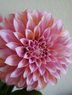 Chrysanthemum Wedding Bouquet, Dahlia, Wedding Bouquets, Succulents, Creative, Flowers, Plants, Jewelry, Jewlery
