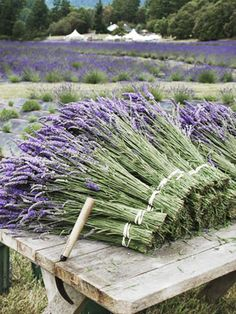 Must go....lavender fields on San Juan Island, Washington