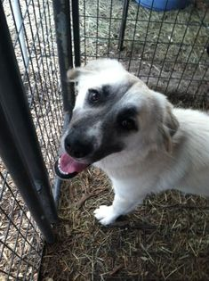 Meet Charlotte, a Petfinder adoptable Anatolian Shepherd Dog | San Antonio, TX | Meet Charlotte; She is so sweet and so beautiful, once you meet her you will fall in love and want...
