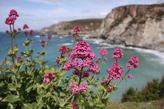 Flowers at the coastal path Close to St. Agnes #Cornwall #StAgnes