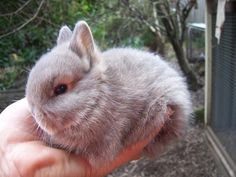 The Netherland Dwarf is a breed of domestic rabbit that originated in the Netherlands. Weighing pounds kg),the Netherland Dwarf is one of the smallest rabbit breeds. Cute Baby Bunnies, Funny Bunnies, Animals And Pets, Funny Animals, Dwarf Bunnies, Bunny Rabbits, Netherland Dwarf Bunny, Dwarf Rabbit, Rabbit Life