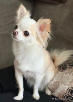 Baby Chihuahua, Chihuahua Puppies For Sale, Baby Dogs, Cute Puppies, Cute Dogs, Dogs And Puppies, Long Hair Chihuahua, Chihuahuas For Adoption, Doggies