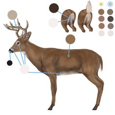 How to Draw Animals: Deer – Species and Anatomy: fur colours