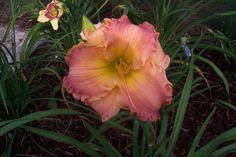 "Autumn Wood---Peach polychrome---5.5"" bl. 24' tall---  Mid. bloom season---$12.00 df"