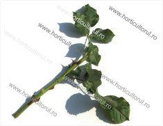 Inmultirea trandafirului Roses, Herbs, Gardening, Plant, Pink, Rose, Lawn And Garden, Herb, Horticulture