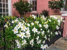 The new mandevillas bloom nonstop and are a cinch to grow. Meteor Garden, Plants, Garden, Vines, Outdoor Gardens, Vertical Garden, Mandevilla Vine, Trees To Plant, Garden Vines