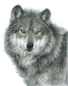 Wolf Drawing - Haunting Eyes by Carla Kurt Love Drawings, Animal Drawings, Pencil Drawings, Charcoal Drawings, Wolf Poster, Realistic Eye Drawing, In The Zoo, Wolf Pictures, Wolf Images