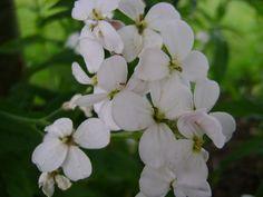 Lunaria rediviva (Vaste judaspenning) - p9