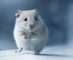This makes me miss my hamsters. #hamster #cute #pet