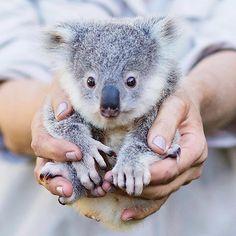 """99.6 ezer kedvelés, 1,481 hozzászólás – Australia (@australia) Instagram-hozzászólása: """"Sending you a handful of #koala from the @visitsunshinecoast - you're welcome! This cutie's name is…"""""""