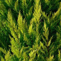 8 Surprising Benefits of Cypress Essential Oil by @draxe