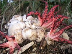 Clathrus archeri, commonly known as Octopus Stinkhorn