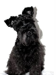 Exercise and the Minature Schnauzer