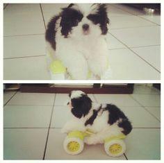 Cachorrinho andando de moto.  KODA Shih tzu