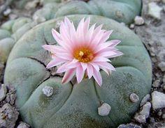 Peyote cactus Southern US