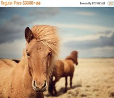 SALE: Horse Photography Icelandic Horses by EyePoetryPhotography