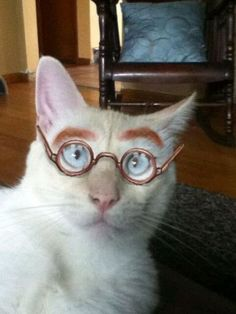 White Eyebrow Cat with Glasses