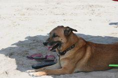 Belgian Malinois. Sooner at Carova Beach!