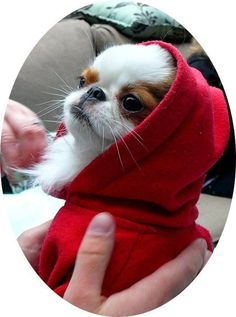 Japanese Chin! A small dog that's not hyper and yippy