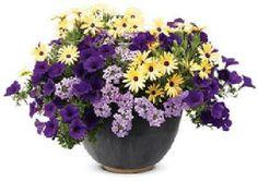 Free Spirit   Proven Winners Verbena, ostepernum & replace petunia with geranium or calibrachoa or verbena, lantana in similar color