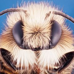Watch Out for Yellow Legged Mining Bees! Call A1 Bee Specialists in Bloomfield Hills, MI today at (248) 467-4849 to schedule an appointment if you've got a stinging insect problem around your house or place of business!