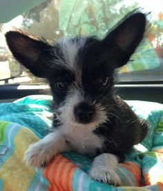 Minnie Mouse is a tiny little girl with lots of love and personality. At 9 weeks old Minnie Mouse only weighs 2 pounds. She is so cute  with those big ears you will fall in love instantly. If you are interested in meeting and adopting her please...