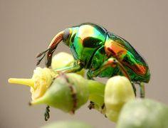 ユーリヌス・マグニフィクス(コウチュウ目:ゾウムシ科:ヒメゾウムシ亜科)Eurhinus magnificus20万種いるとされるゾウムシの中でも虹色に輝くゾウムシは、そういないだろう。幼虫はブドウ科の植物のツルに紡錘形の虫こぶを造る。学名のマグニフィクスは「壮麗な美しさ、とびきり上等な」という意味。この「とびきり上等な」ゾウムシの幼虫は大切に虫こぶに包まれて育つ。体長: 5 mm  撮影地:サン・ホセ、コスタリカ
