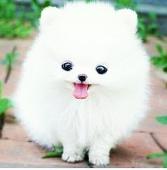 You Going To Heaven Or Hell? White Teacup Pomeranian Puppy //In need of a detox? off using our discount code at .auWhite Teacup Pomeranian Puppy //In need of a detox? off using our discount code at . Pomsky Puppies, Cute Puppies, Cute Dogs, Pomeranians, Teacup Puppies, Teacup Maltipoo, Funny Dogs, Teacup Maltese, Pomeranian Puppies For Sale