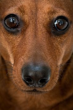 Doxie ✿⊱╮