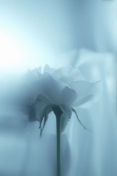 Pale blue rose
