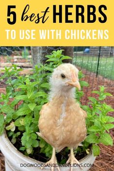 Using herbs in the chicken coop can provide many benefits to your chickens. As a bonus, you can use many of these same herbs in your kitchen! Plants For Chickens, Raising Backyard Chickens, Keeping Chickens, Pet Chickens, Urban Chickens, Backyard Farming, Chickens In Garden, Chicken Garden, Backyard Chicken Coops