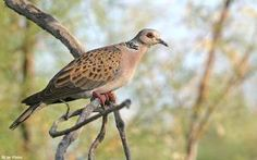 European Turtle-dove (Streptopelia turtur) videos, photos and sound recordings   the Internet Bird Collection   HBW Alive