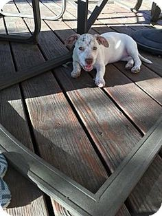 Hamden, CT - Corgi Mix. Meet Una, a puppy for adoption…
