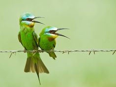 Bee-eater Courtship by Koshyk, via Flickr