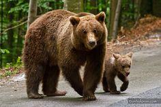 URSI MADE in ROMANIA. Credit foto: Radu Lipsa Cutest Thing Ever, Brown Bear, Romania, Photography, Naturaleza, Animaux, Photograph, Fotografie, Photoshoot