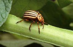 colorado potato beetle - Google Search