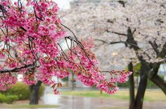 Cherry Blossoms in Japan and Spring Colors Around the World | http://www.everintransit.com/cherry-blossoms-in-japan/