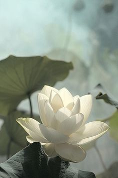 ** Lotus the Happiness Flower