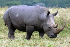 african rhino - Google Search