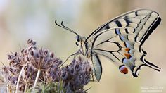 Papilio machaon by Massimo Casa on 500px
