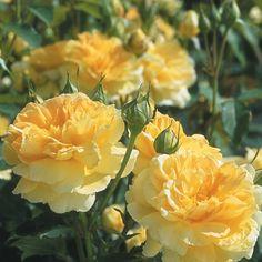 'Molineux' - David Austen Roses