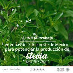 El INIFAP trabaja en zonas del Sur- Sureste de México para potenciar la producción de stevia.SAGARPA SAGARPAMX #MéxicoSiembraÉxito