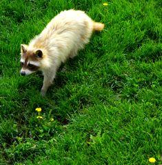 Partially Albino Raccoon