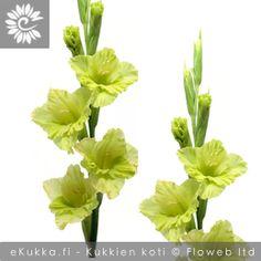 Miekkalilja, Gladiolus