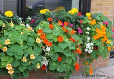 Competing for attention in this year's window box are tall marigolds, ivy geranium, and verbena. The Prettiest Window Box in Town 2015 Container Gardening Vegetables, Succulents In Containers, Container Flowers, Container Plants, Vegetable Gardening, Window Box Plants, Window Box Flowers, Window Boxes, Geranium Planters