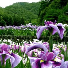 Japanese Iris...beautiful balance with all the green