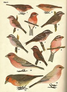 Avian Review website---Reviews, summaries and sample pages of bird books from around the world (some are from vintage books).